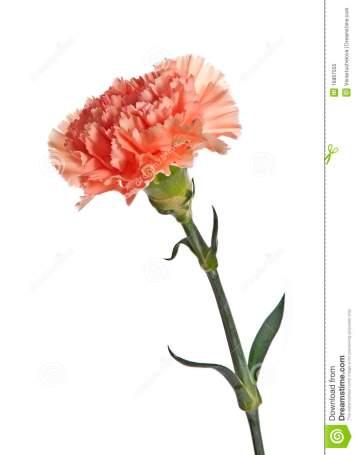 roze-anjer-16867555