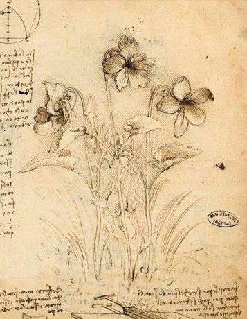 blog da vinci study of violets Study of Violets, Leonardo Da Vinci (Italian, 1452-1519) ~ Study of Violets